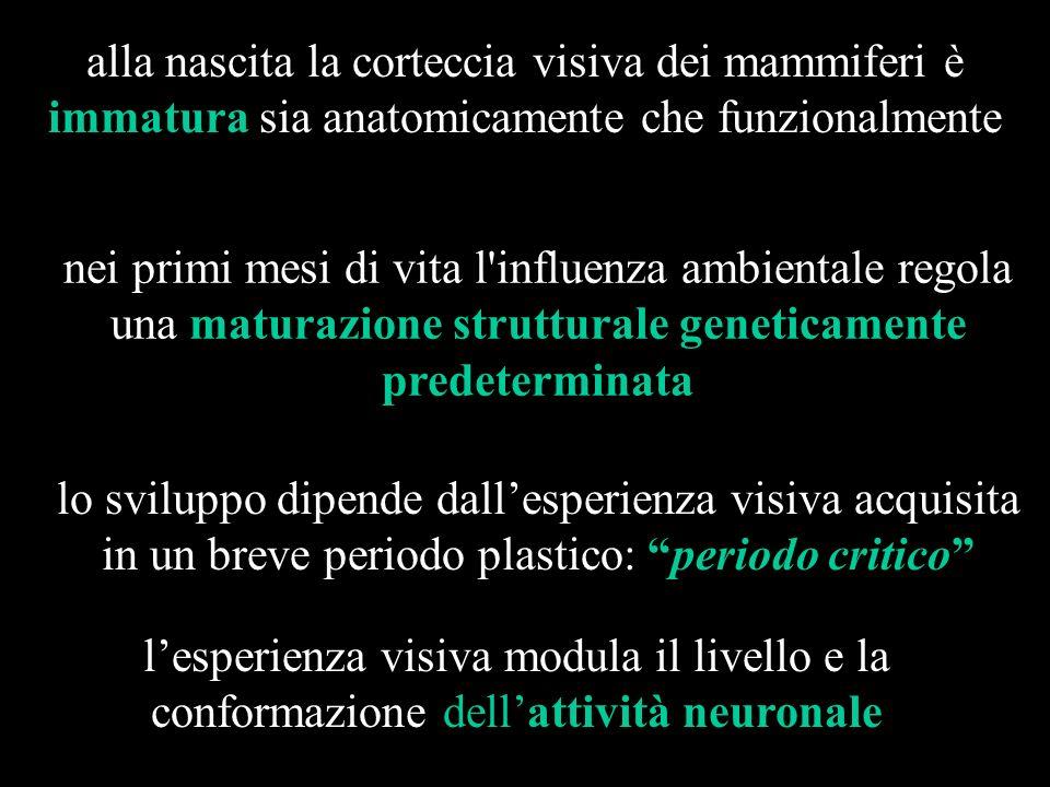 alla nascita la corteccia visiva dei mammiferi è immatura sia anatomicamente che funzionalmente nei primi mesi di vita l'influenza ambientale regola u