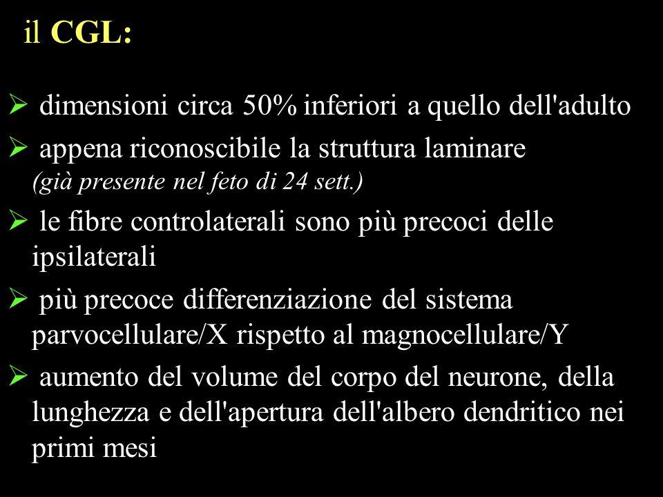 dimensioni circa 50% inferiori a quello dell'adulto appena riconoscibile la struttura laminare (già presente nel feto di 24 sett.) le fibre controlate