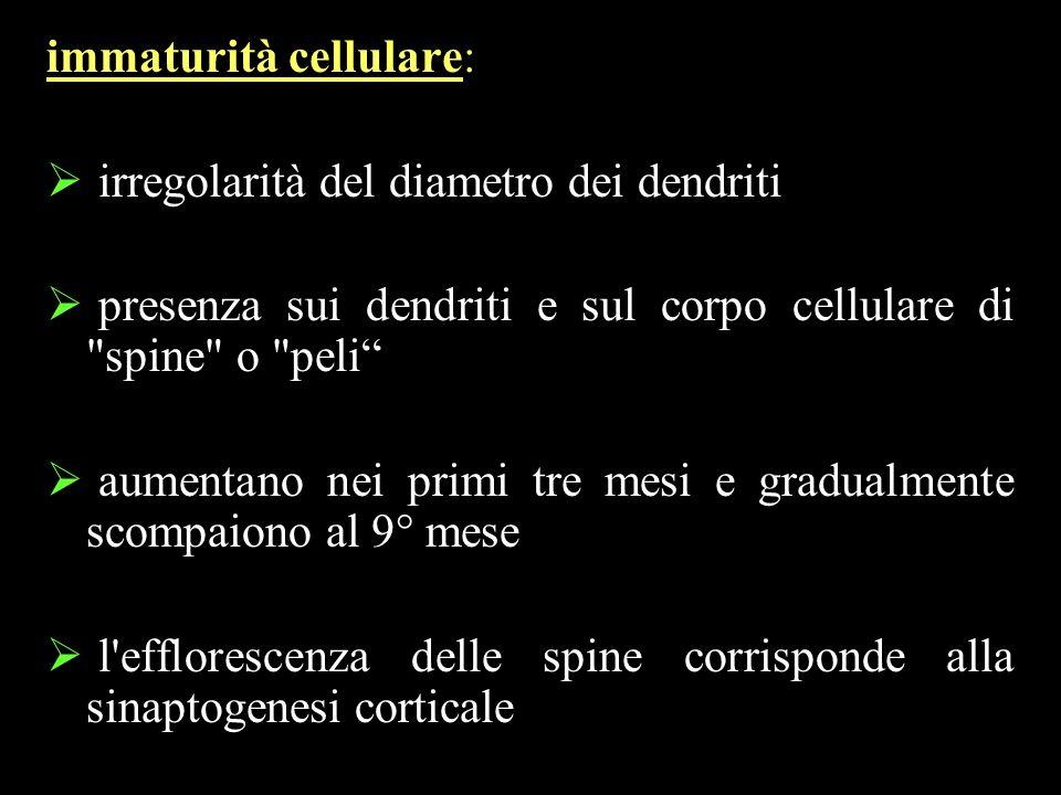 immaturità cellulare: irregolarità del diametro dei dendriti presenza sui dendriti e sul corpo cellulare di