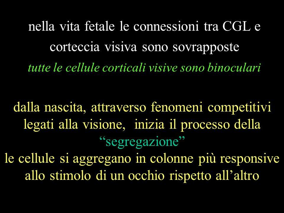 nella vita fetale le connessioni tra CGL e corteccia visiva sono sovrapposte tutte le cellule corticali visive sono binoculari dalla nascita, attraver
