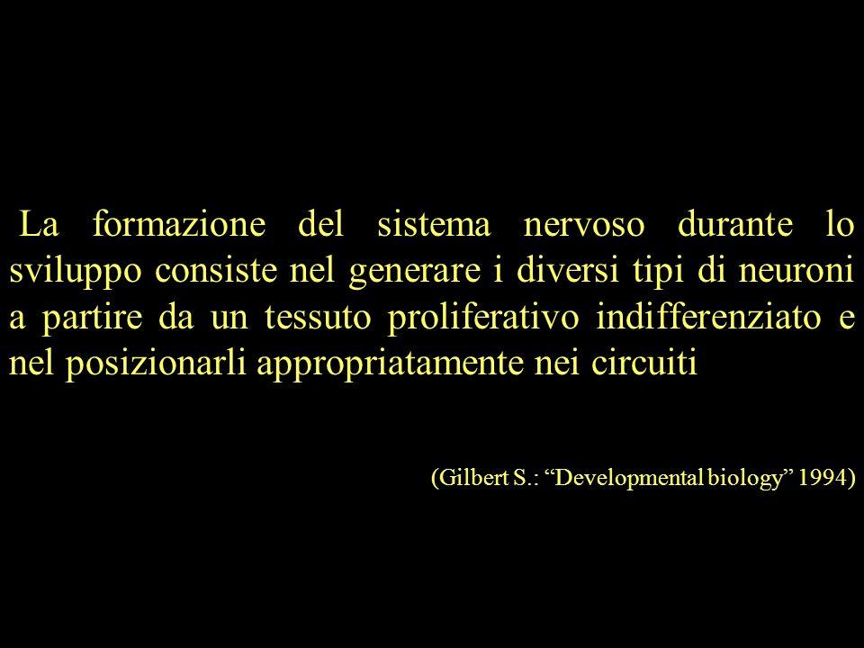 La formazione del sistema nervoso durante lo sviluppo consiste nel generare i diversi tipi di neuroni a partire da un tessuto proliferativo indifferen