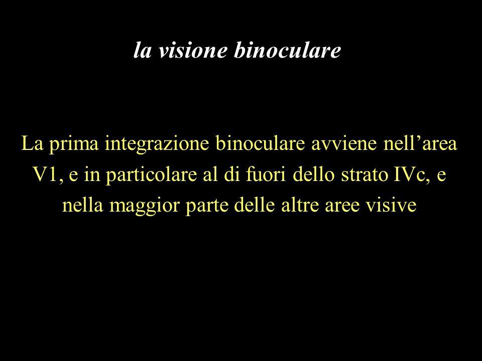 La prima integrazione binoculare avviene nellarea V1, e in particolare al di fuori dello strato IVc, e nella maggior parte delle altre aree visive la