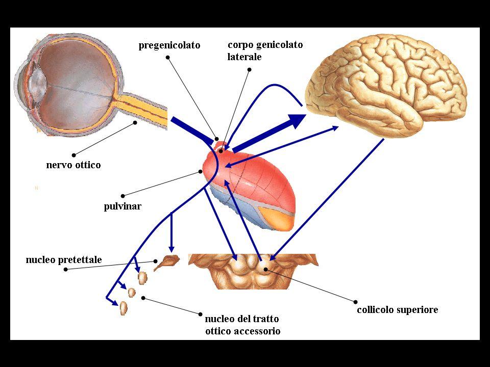 Sviluppo della fovea e dei coni la foveola, costituita prevalentemente da coni, si assottiglia (depressione centrale), mentre la periferia si ispessisce le caratteristische strutturali e morfologiche dei coni alla nascita (scarsa densità, ridotto sviluppo dellarticolo interno e del piede sinaptico) giustificano lo scarso potere discriminativo della retina centrale e il dominio della retina periferica.