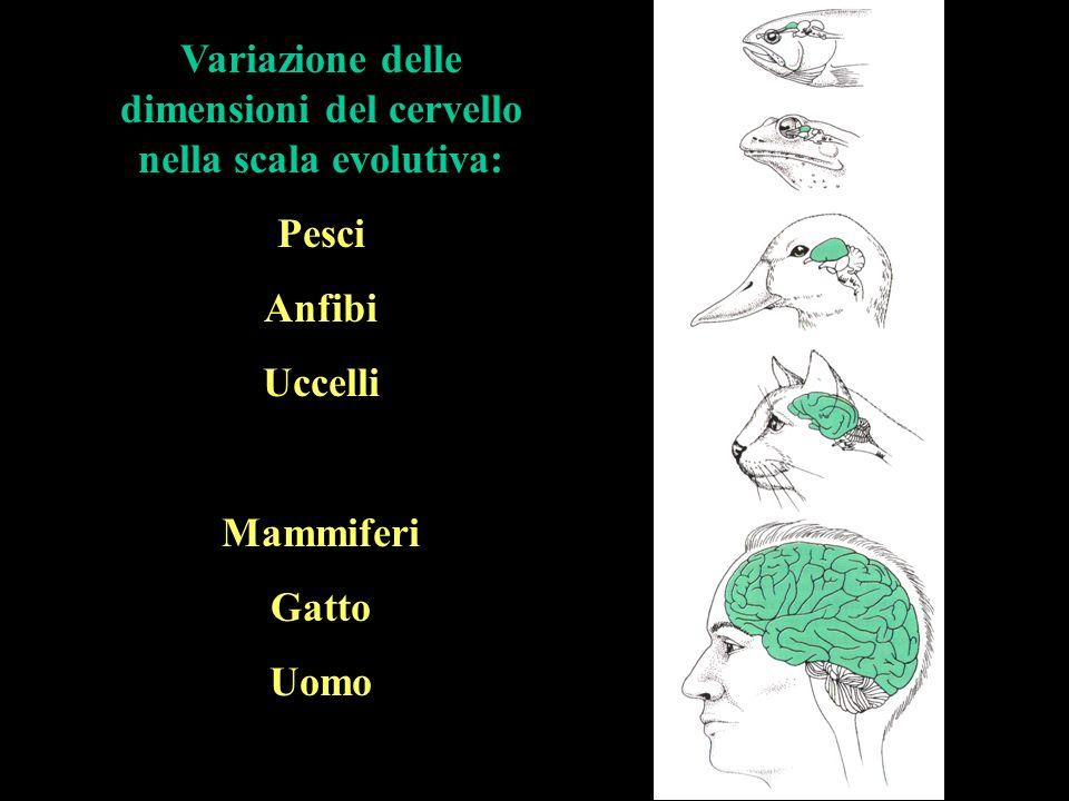 Variazione delle dimensioni del cervello nella scala evolutiva: Pesci Anfibi Uccelli Mammiferi Gatto Uomo