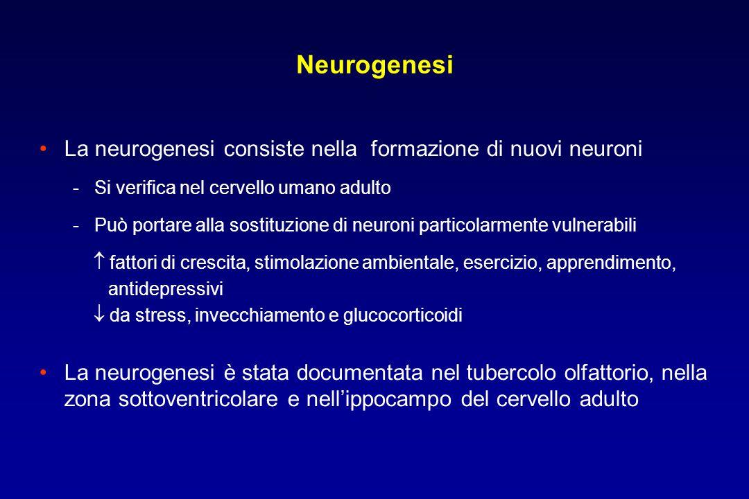 Neurogenesi La neurogenesi consiste nella formazione di nuovi neuroni - Si verifica nel cervello umano adulto - Può portare alla sostituzione di neuroni particolarmente vulnerabili fattori di crescita, stimolazione ambientale, esercizio, apprendimento, antidepressivi da stress, invecchiamento e glucocorticoidi La neurogenesi è stata documentata nel tubercolo olfattorio, nella zona sottoventricolare e nellippocampo del cervello adulto
