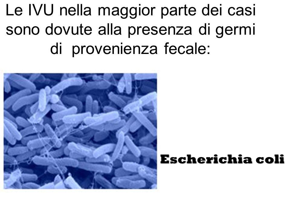 Le IVU nella maggior parte dei casi sono dovute alla presenza di germi di provenienza fecale: Escherichia coli