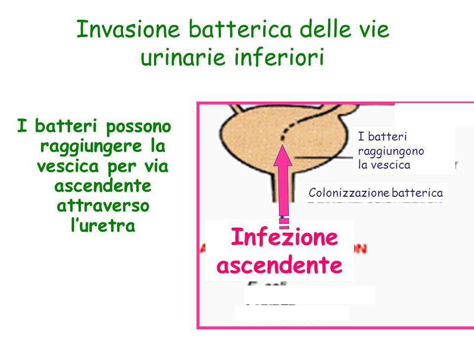 I batteri possono raggiungere la vescica per via ascendente attraverso luretra Invasione batterica delle vie urinarie inferiori Infezione ascendente C