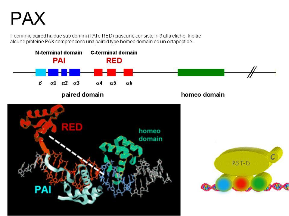 PAX Il dominio paired ha due sub domini (PAI e RED) ciascuno consiste in 3 alfa eliche. Inoltre alcune proteine PAX comprendono una paired type homeo