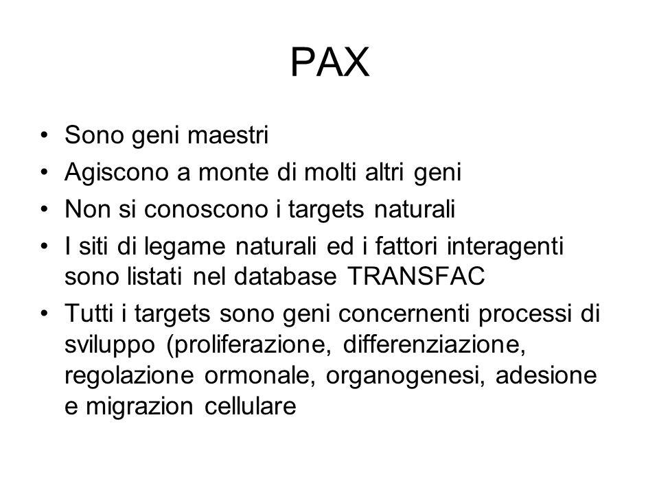 PAX Sono geni maestri Agiscono a monte di molti altri geni Non si conoscono i targets naturali I siti di legame naturali ed i fattori interagenti sono