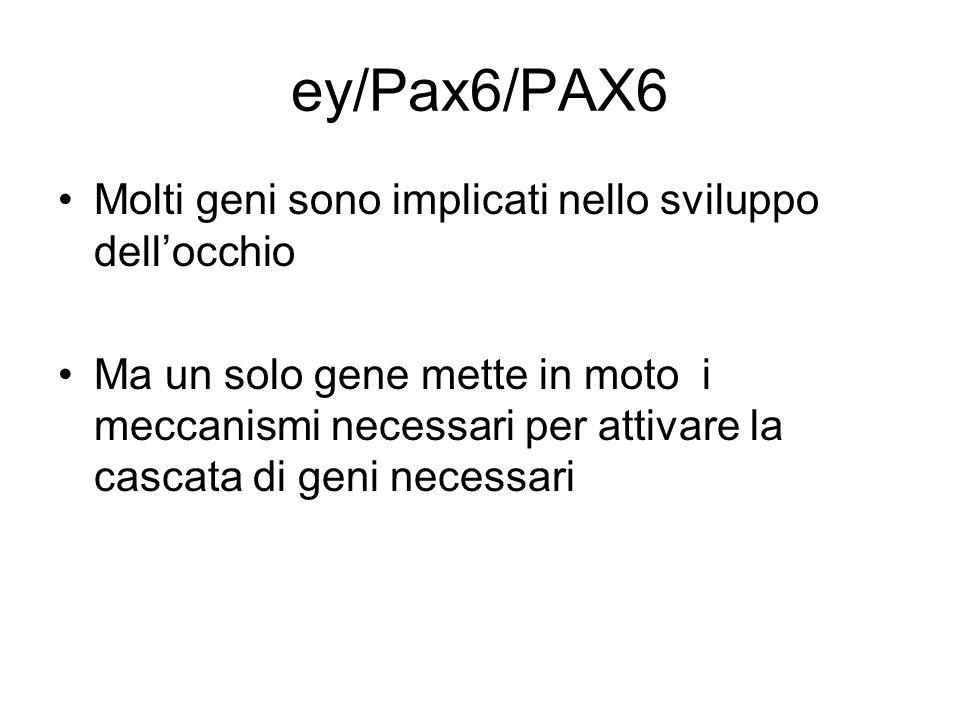 ey/pax6/PAX6 Il gene ey/pax6/PAX6 si è mantenuto nellarco di milioni di anni di evoluzione indipendente Mantiene il suo ruolo nel determinare la posizione e la funzione dellocchio La struttura dellocchio si è evoluta in maniera divergente nelle diverse specie