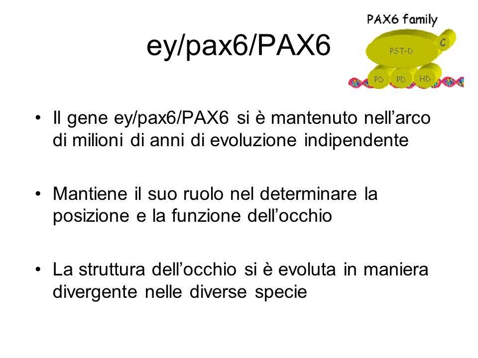ey/pax6/PAX6 Il gene ey/pax6/PAX6 si è mantenuto nellarco di milioni di anni di evoluzione indipendente Mantiene il suo ruolo nel determinare la posiz