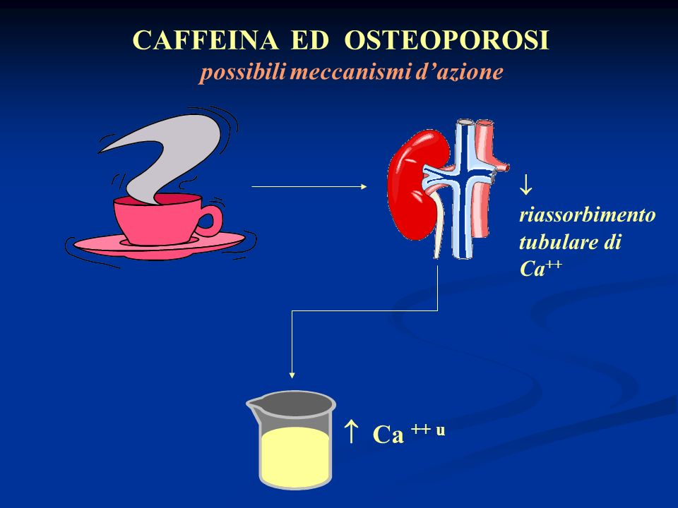 CAFFEINA ED OSTEOPOROSI Ca ++ u riassorbimento tubulare di Ca ++ possibili meccanismi dazione