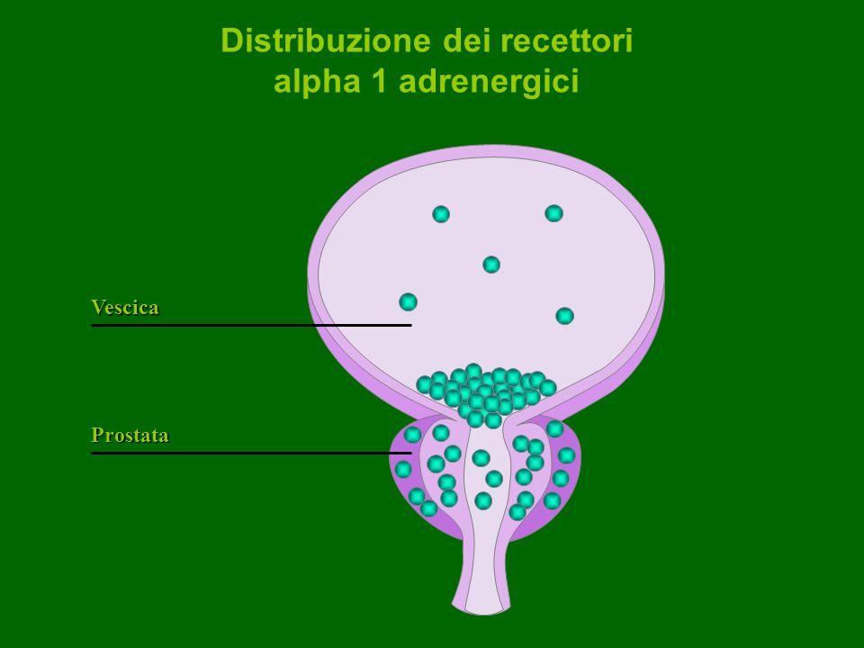 Distribuzione dei recettori alpha 1 adrenergici Prostata Vescica