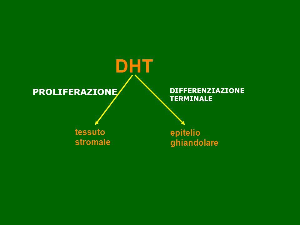 DHT e prostata DHT tessuto stromale epitelio ghiandolare PROLIFERAZIONE DIFFERENZIAZIONE TERMINALE