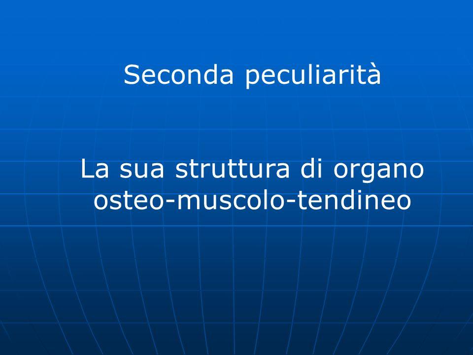 Seconda peculiarità La sua struttura di organo osteo-muscolo-tendineo