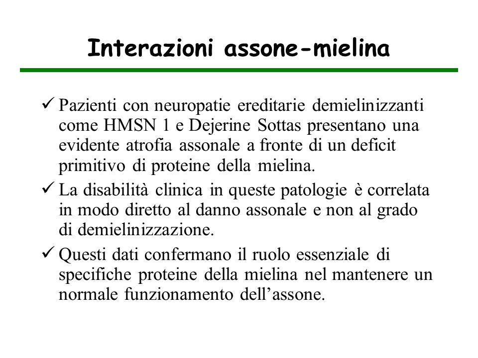 Interazioni assone-mielina Pazienti con neuropatie ereditarie demielinizzanti come HMSN 1 e Dejerine Sottas presentano una evidente atrofia assonale a