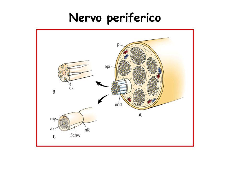 Nervo periferico