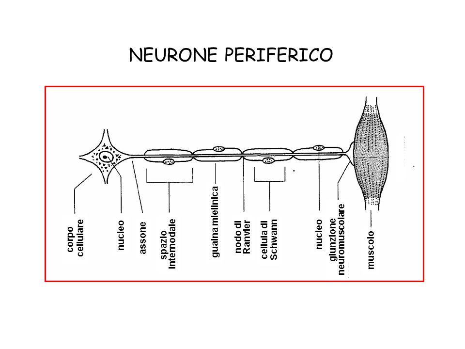 corpo cellulare assone nucleo spazio internodale nodo di Ranvier cellula di Schwann nucleo giunzione neuromuscolare muscolo NEURONE PERIFERICO guaina