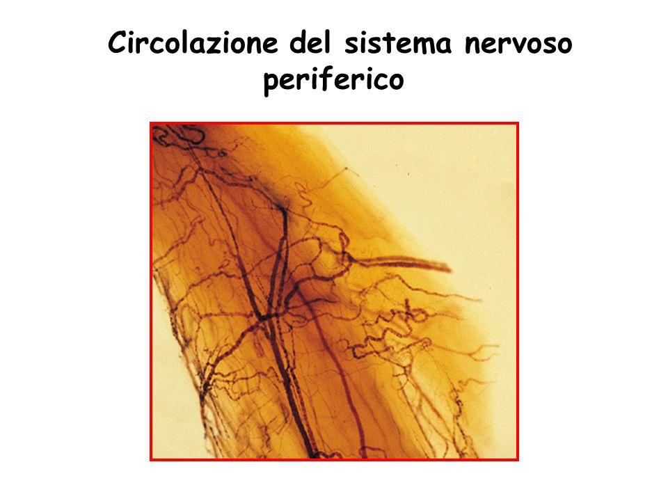 Circolazione del sistema nervoso periferico