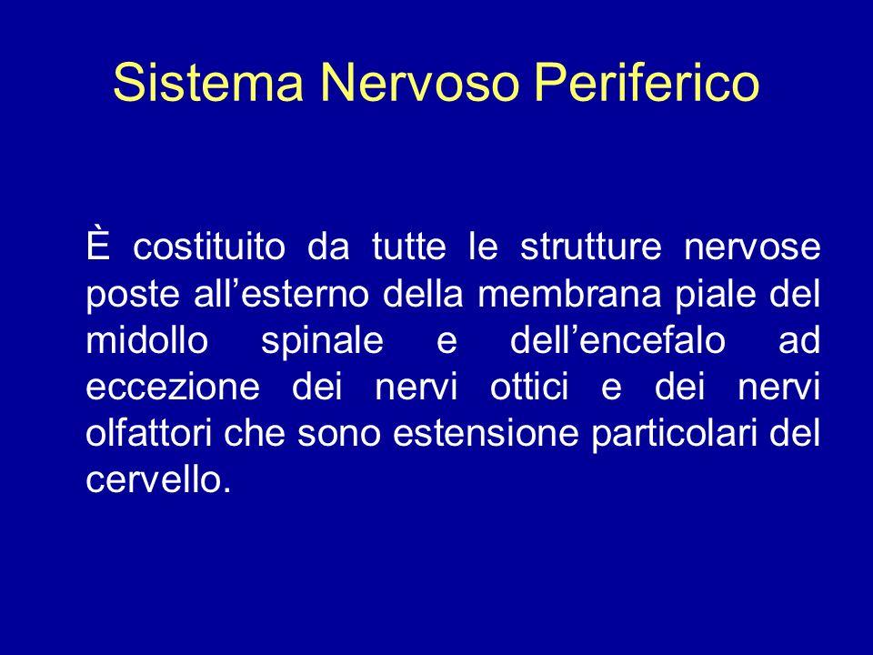 Comprende: 1.Nervi cranici ad eccezione del I e II paio 2.Radici spinali con i tronchi nervosi somatici (motori e sensitivi) 3.Componente periferica del sistema nervoso autonomo
