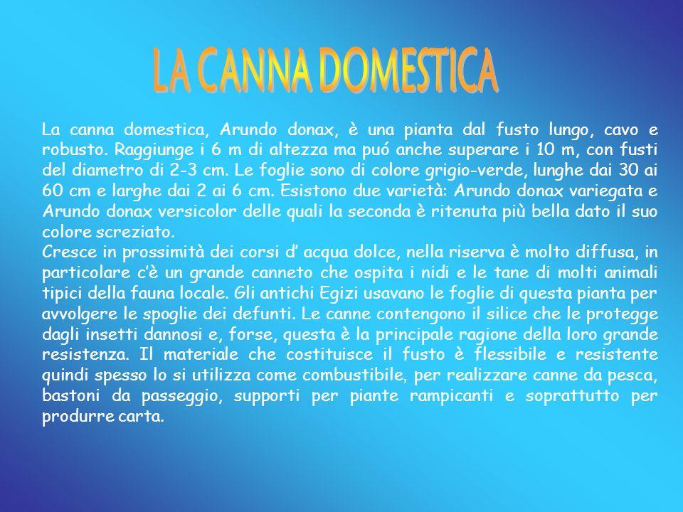 La canna domestica, Arundo donax, è una pianta dal fusto lungo, cavo e robusto. Raggiunge i 6 m di altezza ma puó anche superare i 10 m, con fusti del