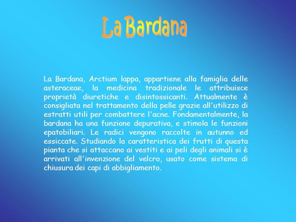 La Bardana, Arctium lappa, appartiene alla famiglia delle asteraceae, la medicina tradizionale le attribuisce proprietà diuretiche e disintossicanti.