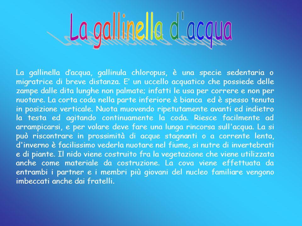 La gallinella dacqua, gallinula chloropus, è una specie sedentaria o migratrice di breve distanza. E un uccello acquatico che possiede delle zampe dal