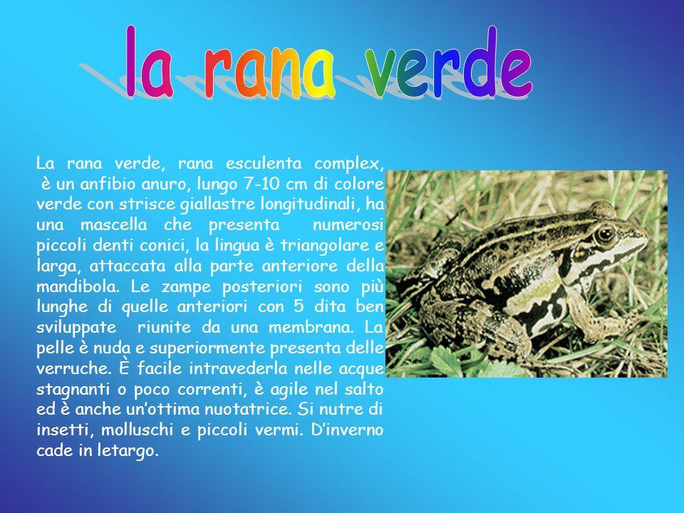 La rana verde, rana esculenta complex, è un anfibio anuro, lungo 7-10 cm di colore verde con strisce giallastre longitudinali, ha una mascella che pre