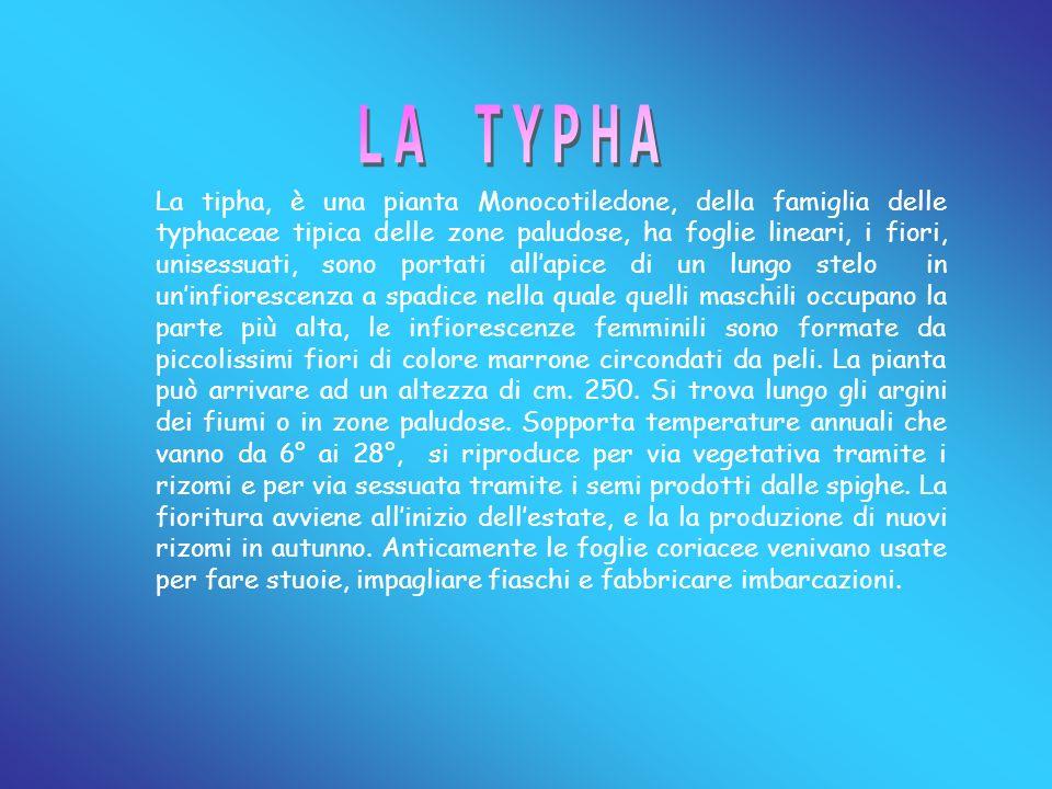 Typha latifolia,