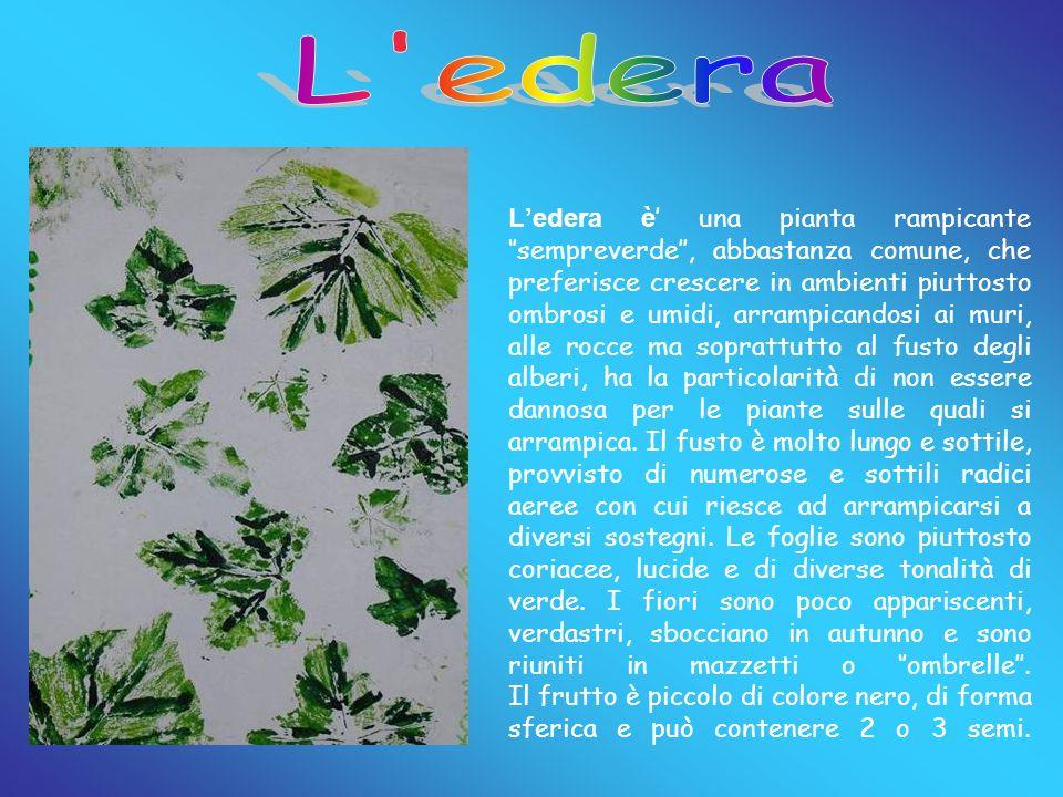 Ledera è una pianta rampicante sempreverde, abbastanza comune, che preferisce crescere in ambienti piuttosto ombrosi e umidi, arrampicandosi ai muri,