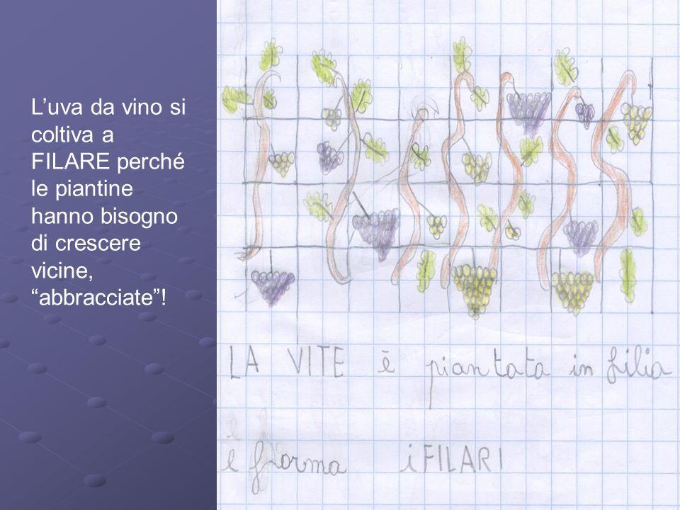 Luva da vino si coltiva a FILARE perché le piantine hanno bisogno di crescere vicine, abbracciate!