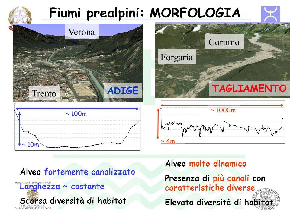 Fiumi prealpini: MORFOLOGIA Alveo fortemente canalizzato Larghezza ~ costante Scarsa diversità di habitat Alveo molto dinamico Presenza di più canali