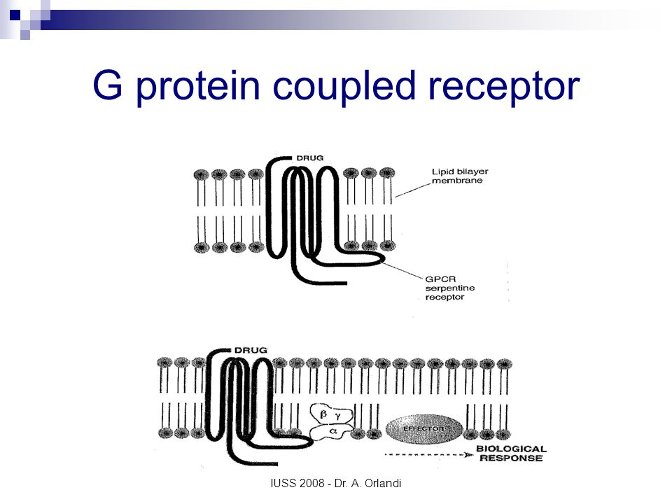 IUSS 2008 - Dr. A. Orlandi G protein coupled receptor