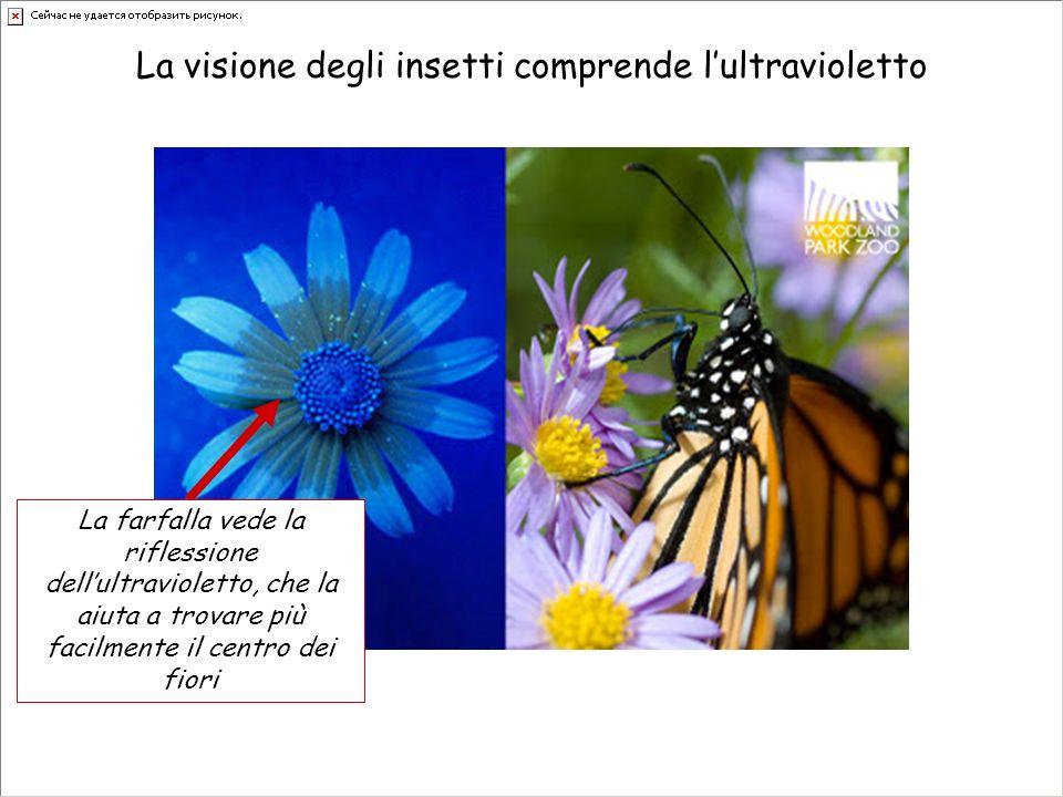 La visione degli insetti comprende lultravioletto La farfalla vede la riflessione dellultravioletto, che la aiuta a trovare più facilmente il centro d