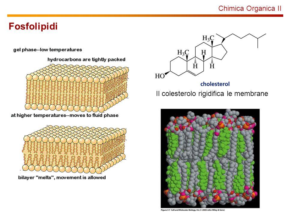 Chimica Organica II Fosfolipidi Il colesterolo rigidifica le membrane