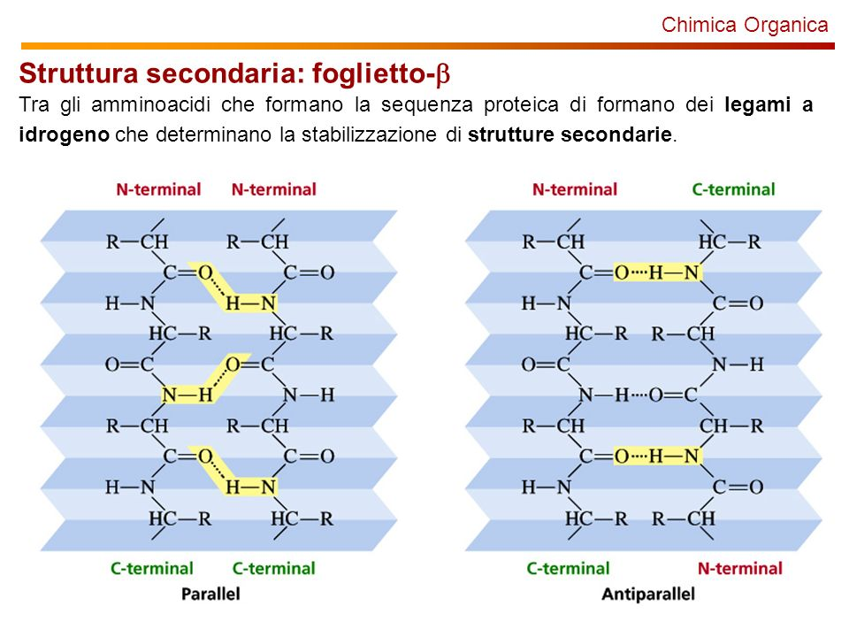 Chimica Organica Struttura secondaria: foglietto- Tra gli amminoacidi che formano la sequenza proteica di formano dei legami a idrogeno che determinan