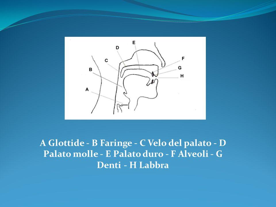 A Glottide - B Faringe - C Velo del palato - D Palato molle - E Palato duro - F Alveoli - G Denti - H Labbra