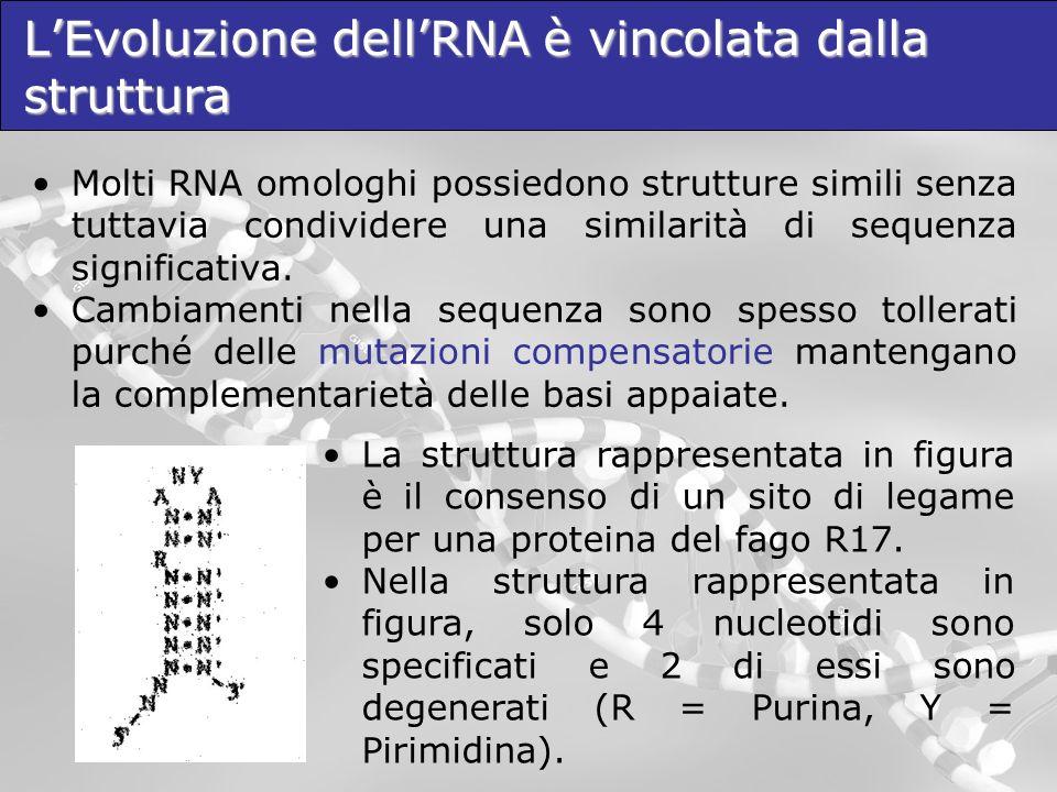 LEvoluzione dellRNA è vincolata dalla struttura Molti RNA omologhi possiedono strutture simili senza tuttavia condividere una similarità di sequenza s