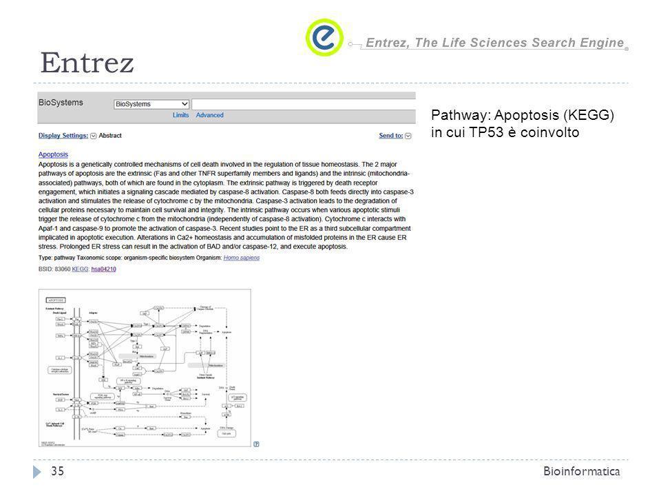 Entrez Bioinformatica35 Pathway: Apoptosis (KEGG) in cui TP53 è coinvolto