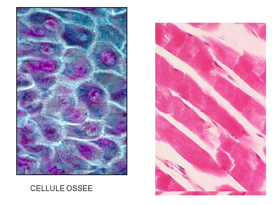 CELLULE OSSEE