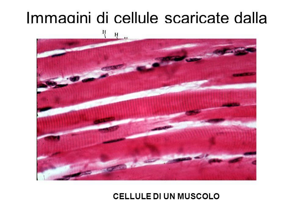 Immagini di cellule scaricate dalla rete… CELLULE DI UN MUSCOLO