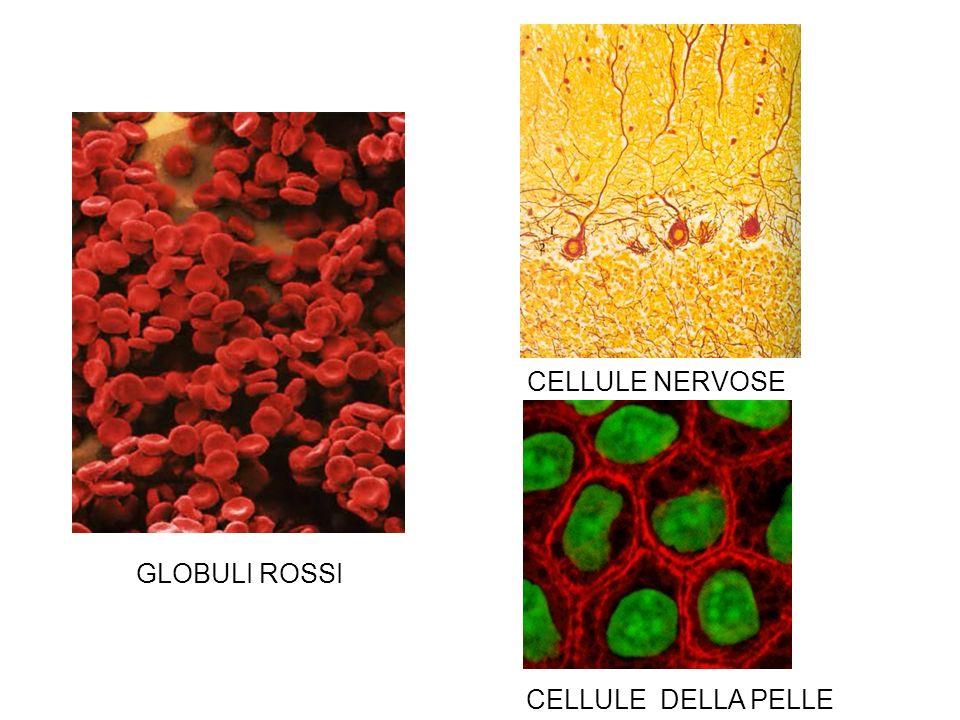 GLOBULI ROSSI CELLULE NERVOSE CELLULE DELLA PELLE