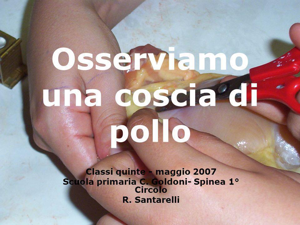 Osserviamo una coscia di pollo Classi quinte - maggio 2007 Scuola primaria C. Goldoni- Spinea 1° Circolo R. Santarelli