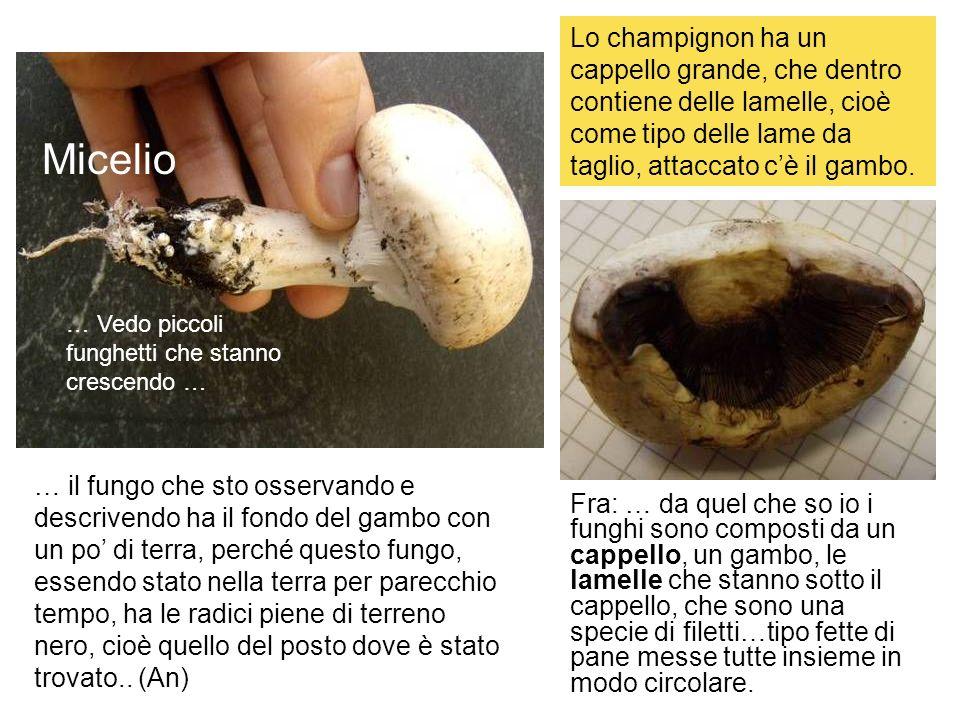 … il fungo che sto osservando e descrivendo ha il fondo del gambo con un po di terra, perché questo fungo, essendo stato nella terra per parecchio tem