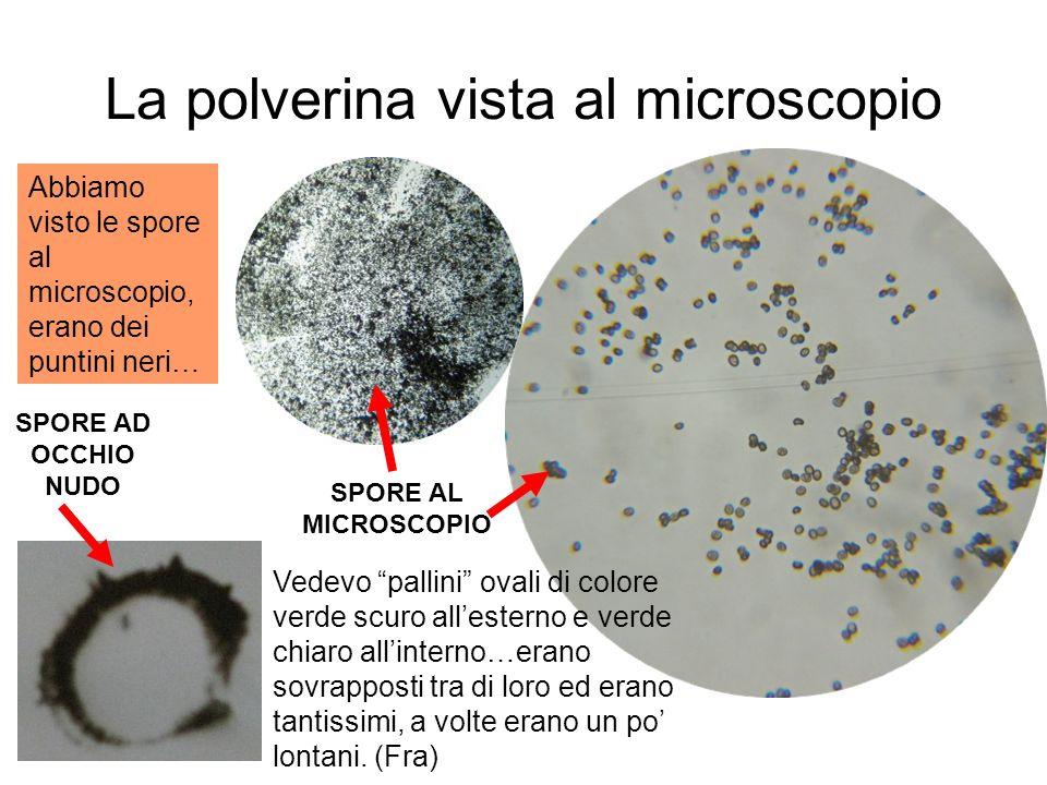 La polverina vista al microscopio SPORE AD OCCHIO NUDO SPORE AL MICROSCOPIO Abbiamo visto le spore al microscopio, erano dei puntini neri… Vedevo pall