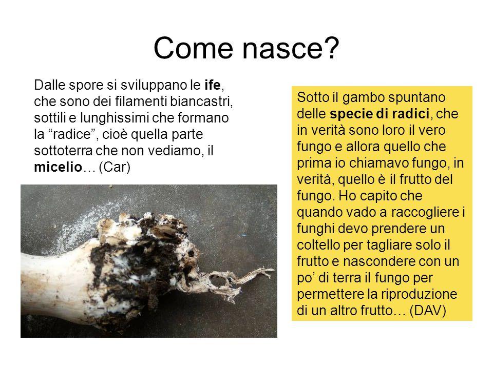 Come nasce? Dalle spore si sviluppano le ife, che sono dei filamenti biancastri, sottili e lunghissimi che formano la radice, cioè quella parte sottot