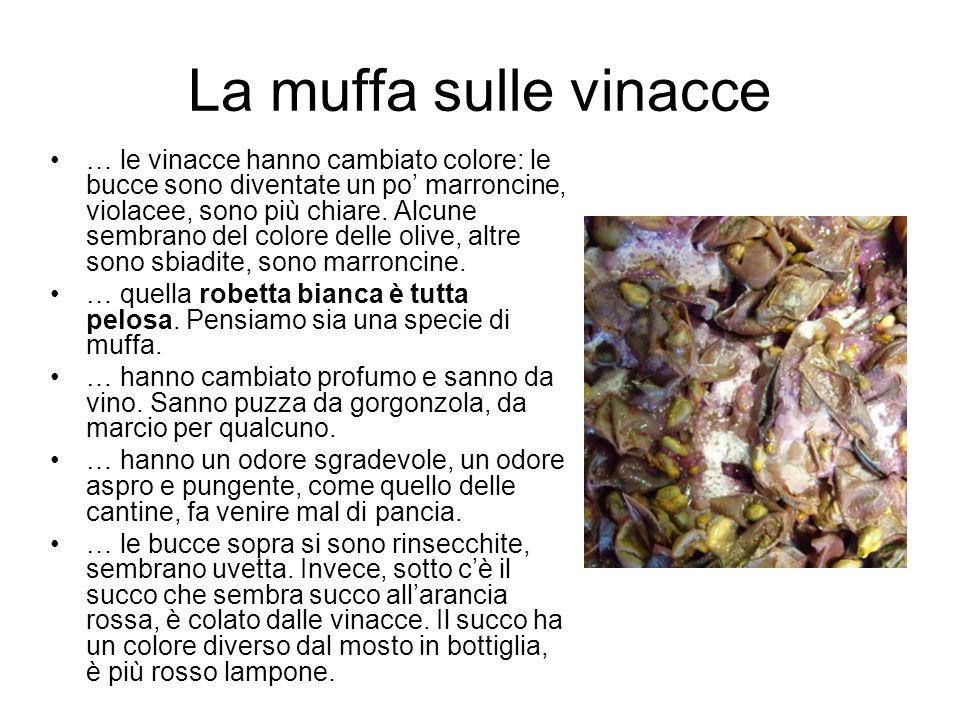 La muffa sulle vinacce … le vinacce hanno cambiato colore: le bucce sono diventate un po marroncine, violacee, sono più chiare. Alcune sembrano del co