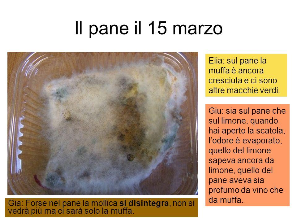 Il pane il 15 marzo Elia: sul pane la muffa è ancora cresciuta e ci sono altre macchie verdi. Giu: sia sul pane che sul limone, quando hai aperto la s
