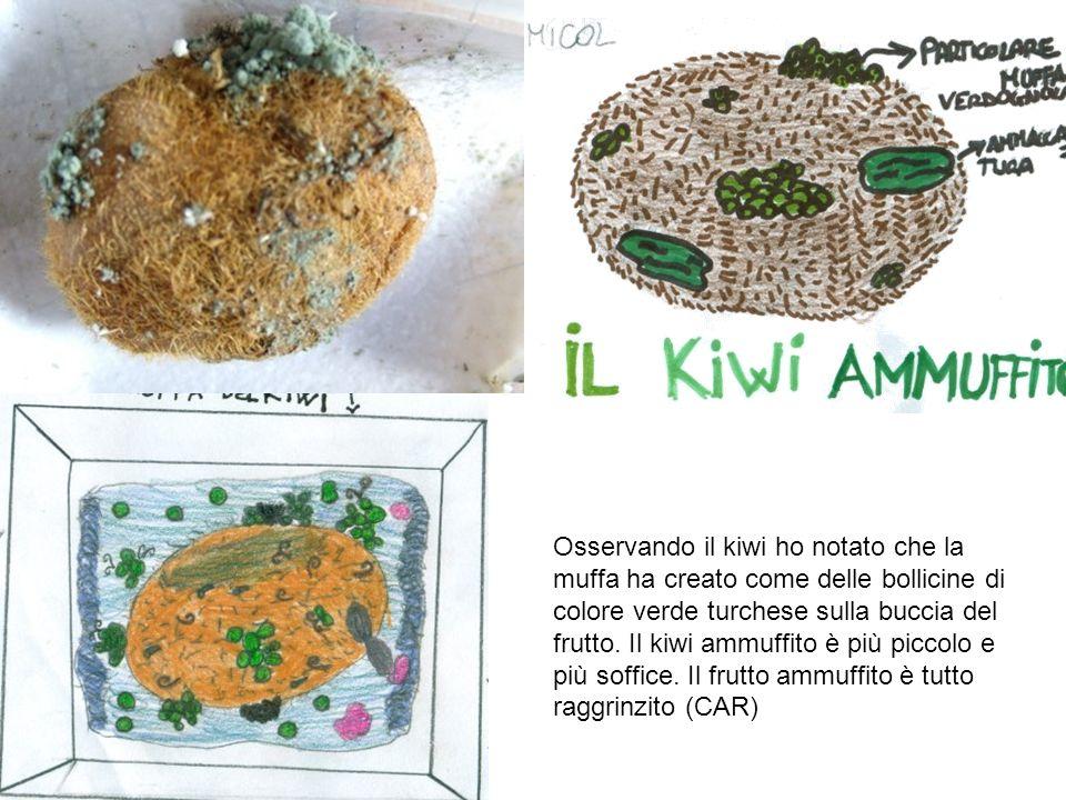 Osservando il kiwi ho notato che la muffa ha creato come delle bollicine di colore verde turchese sulla buccia del frutto. Il kiwi ammuffito è più pic