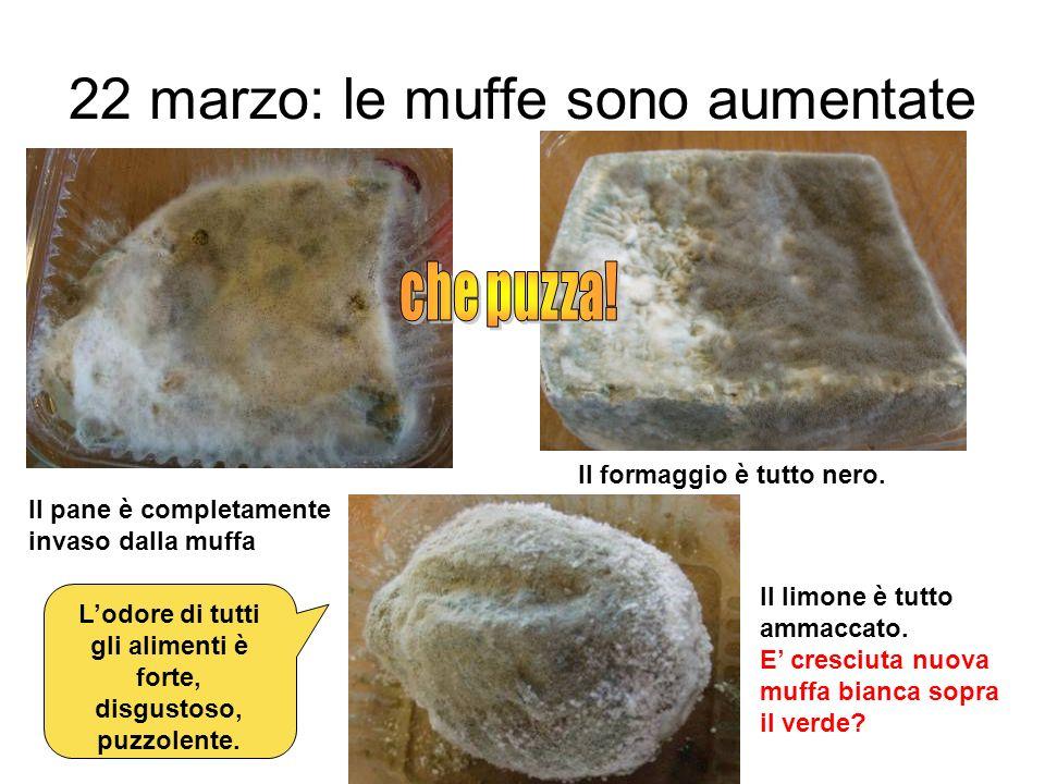 22 marzo: le muffe sono aumentate Il pane è completamente invaso dalla muffa Il formaggio è tutto nero. Il limone è tutto ammaccato. E cresciuta nuova